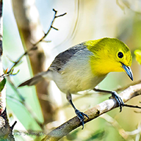 Yellow-Headed Warbler Description