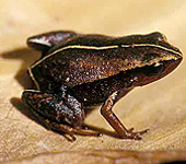 Cuban Robber Frog