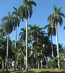 Cuban Royal Palm