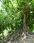 Shortleaf Fig