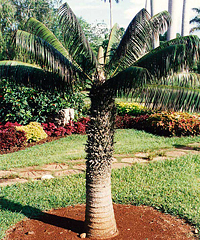 Cork Palm (Microcycas Calocoma)