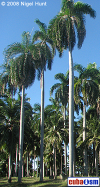 Cuban Royal Palm (Roystonea regia)