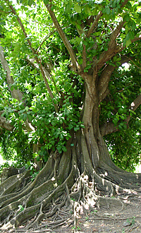 Shortleaf Fig (Ficus citrifolia)